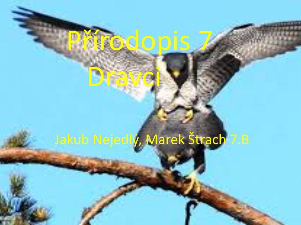 Přírodopis 7 Dravci Jakub Nejedlý, Marek Štrach 7.B