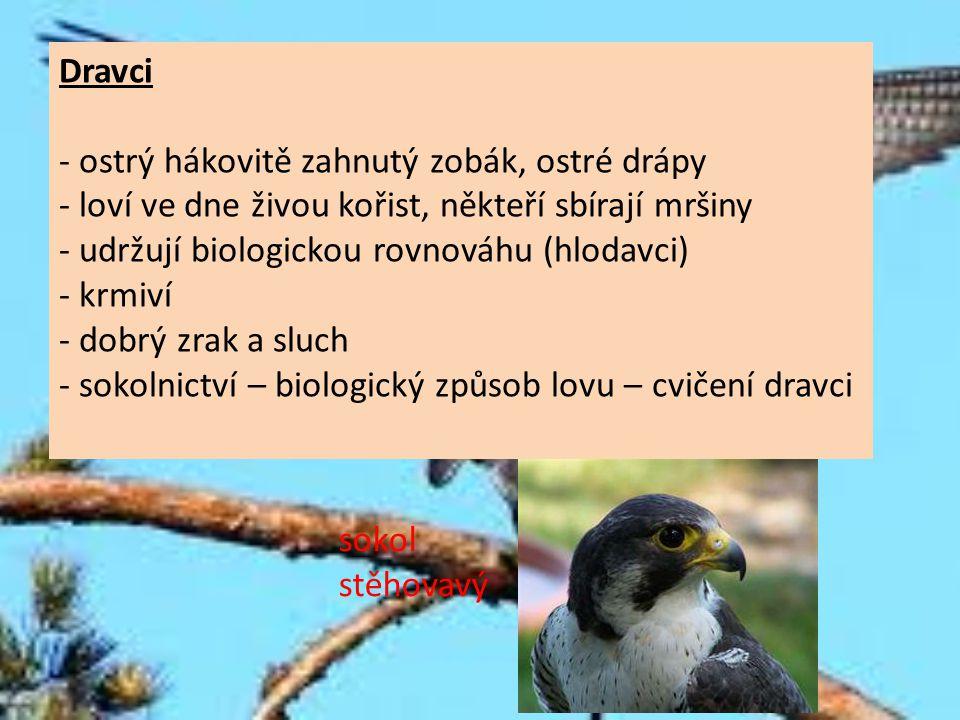 Dravci - ostrý hákovitě zahnutý zobák, ostré drápy - loví ve dne živou kořist, někteří sbírají mršiny - udržují biologickou rovnováhu (hlodavci) - krm