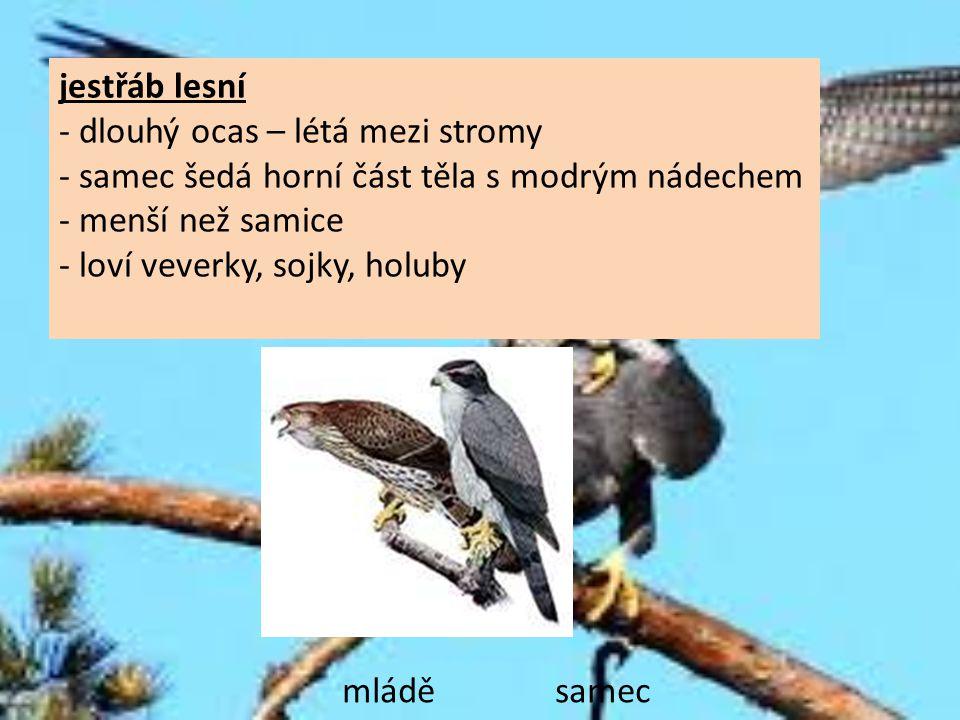 jestřáb lesní - dlouhý ocas – létá mezi stromy - samec šedá horní část těla s modrým nádechem - menší než samice - loví veverky, sojky, holuby mládě s