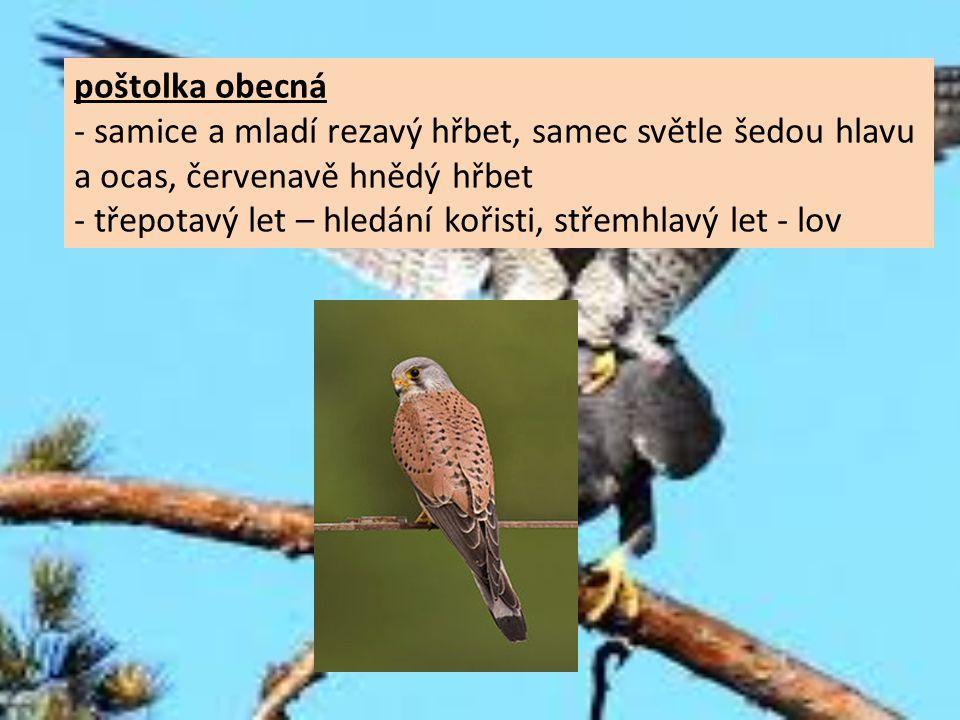 poštolka obecná - samice a mladí rezavý hřbet, samec světle šedou hlavu a ocas, červenavě hnědý hřbet - třepotavý let – hledání kořisti, střemhlavý le