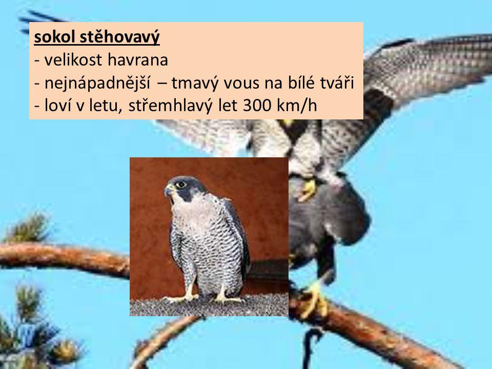 sokol stěhovavý - velikost havrana - nejnápadnější – tmavý vous na bílé tváři - loví v letu, střemhlavý let 300 km/h