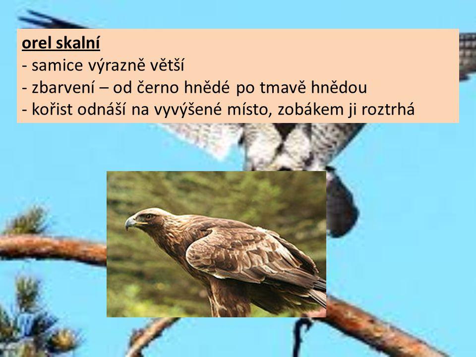 orel skalní - samice výrazně větší - zbarvení – od černo hnědé po tmavě hnědou - kořist odnáší na vyvýšené místo, zobákem ji roztrhá