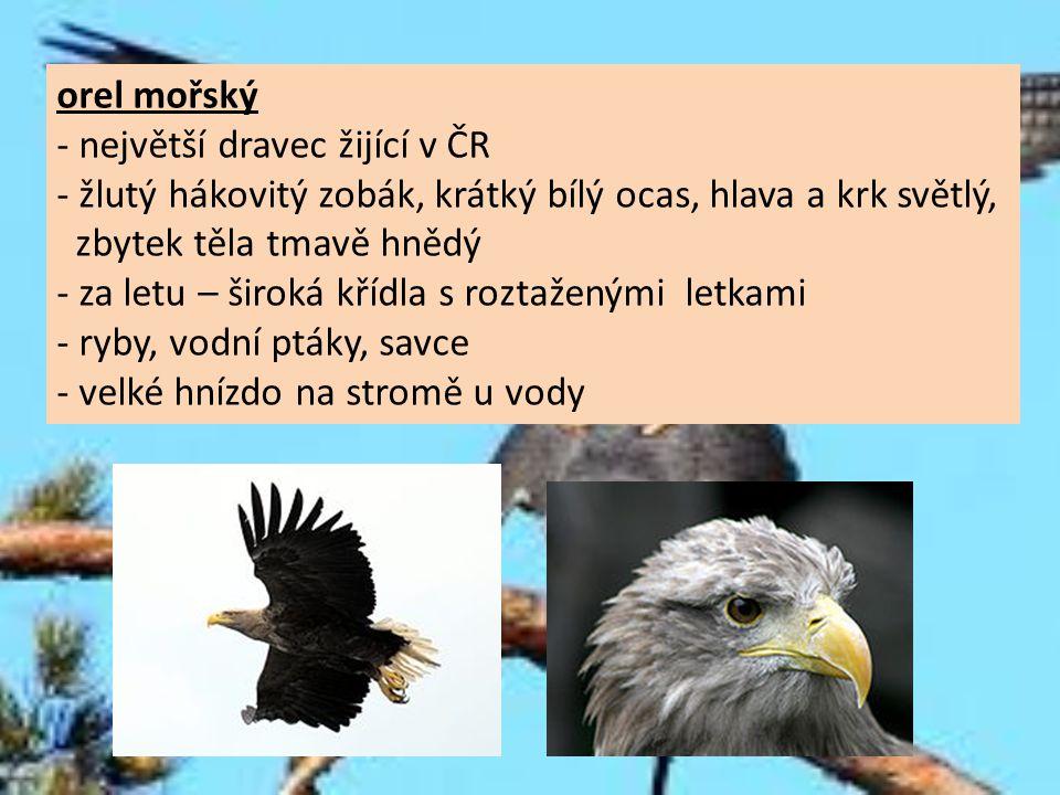 orel mořský - největší dravec žijící v ČR - žlutý hákovitý zobák, krátký bílý ocas, hlava a krk světlý, zbytek těla tmavě hnědý - za letu – široká kří
