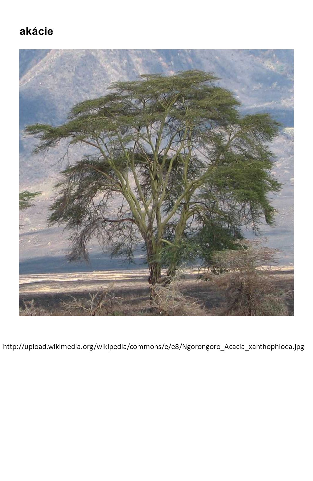 http://upload.wikimedia.org/wikipedia/commons/e/e8/Ngorongoro_Acacia_xanthophloea.jpg akácie