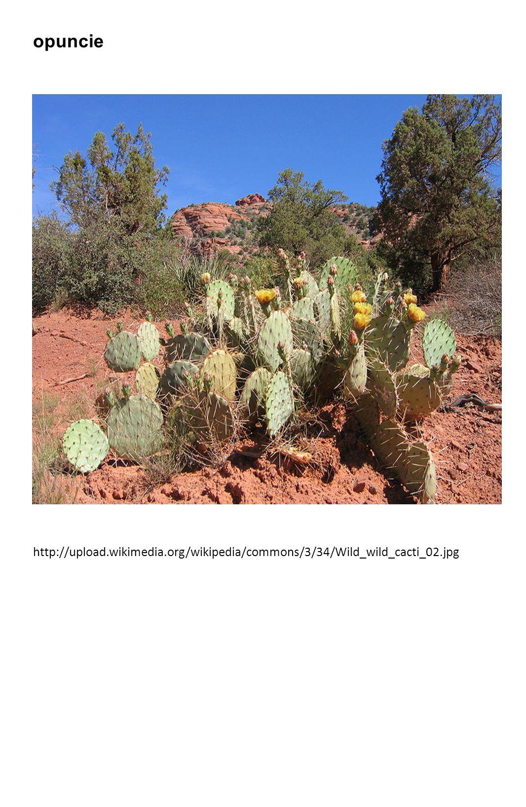 opuncie http://upload.wikimedia.org/wikipedia/commons/3/34/Wild_wild_cacti_02.jpg