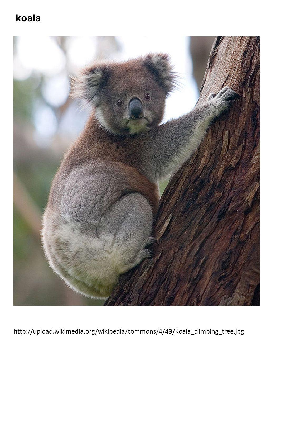 koala http://upload.wikimedia.org/wikipedia/commons/4/49/Koala_climbing_tree.jpg