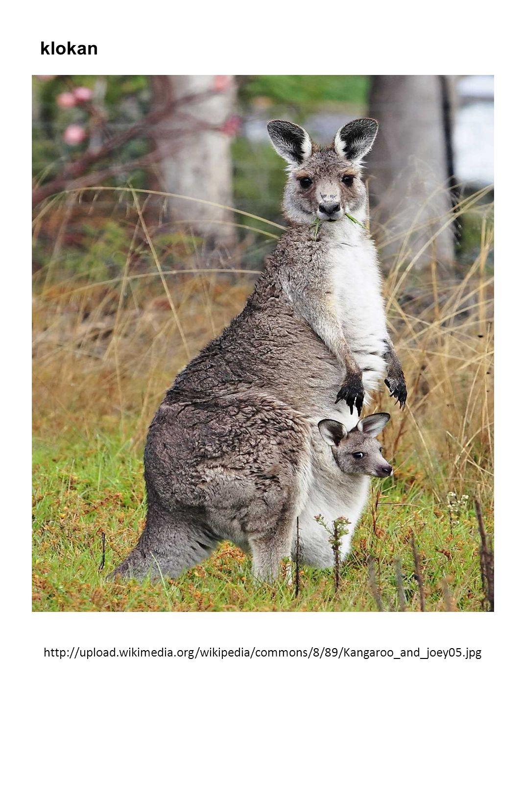 klokan http://upload.wikimedia.org/wikipedia/commons/8/89/Kangaroo_and_joey05.jpg