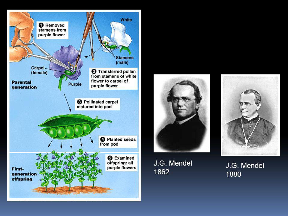 J.G. Mendel 1862 J.G. Mendel 1880