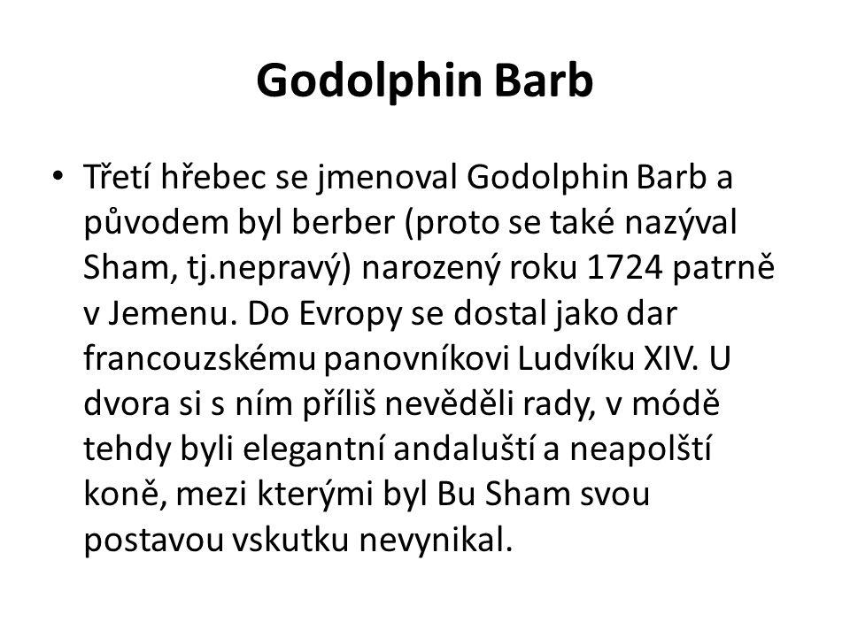 Godolphin Barb Třetí hřebec se jmenoval Godolphin Barb a původem byl berber (proto se také nazýval Sham, tj.nepravý) narozený roku 1724 patrně v Jemen