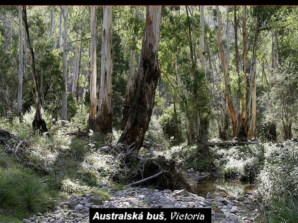 Spinifex - végétation de l 'Outback je jakýsi druh trávy, přizpůsobený pro nejchudší, nejsušší a nejméně výživné půdy v Austrálii.
