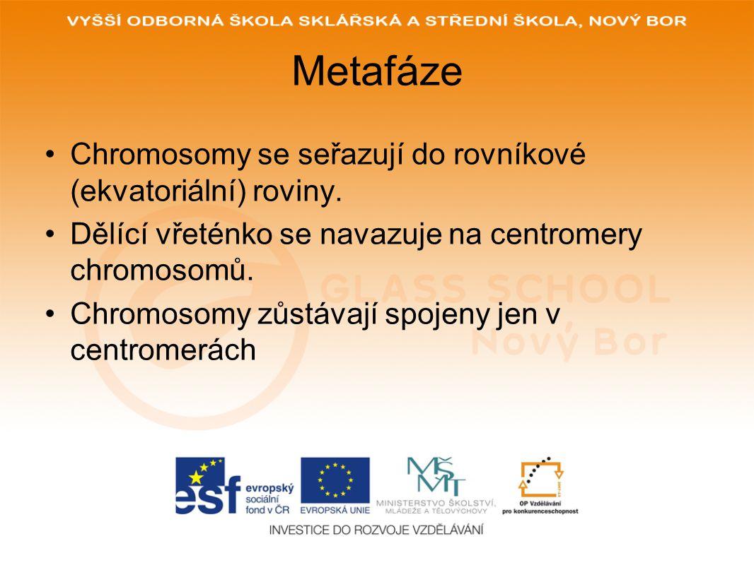 Metafáze Chromosomy se seřazují do rovníkové (ekvatoriální) roviny. Dělící vřeténko se navazuje na centromery chromosomů. Chromosomy zůstávají spojeny