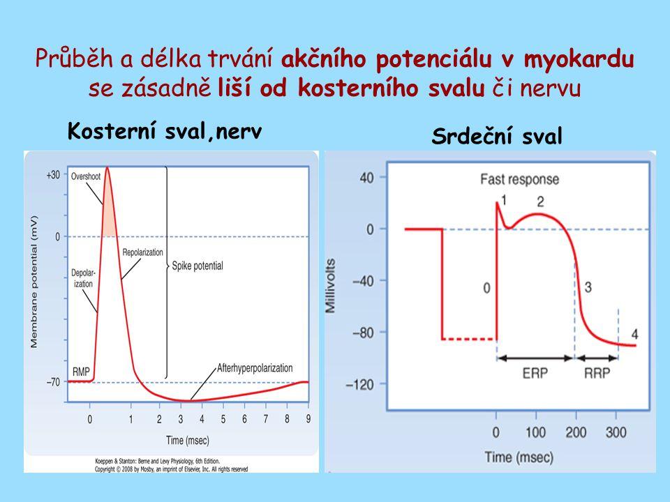 Průběh a délka trvání akčního potenciálu v myokardu se zásadně liší od kosterního svalu či nervu Kosterní sval,nerv Srdeční sval