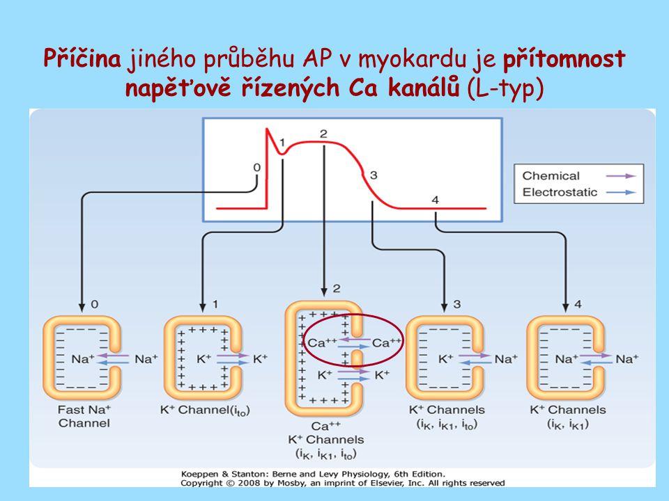Spřažení excitace - kontrakce - mechanismus vyvolání kontrakce Pro vyvolání a šíření kontrakce jsou klíčové T-tubuly, gap junctions a SR Pro iniciaci kontrakce je nezbytný influx Ca iontů z extracellulárního prostředí, na vyvolání kontrakce to však nestačí (20% potřebného Ca)
