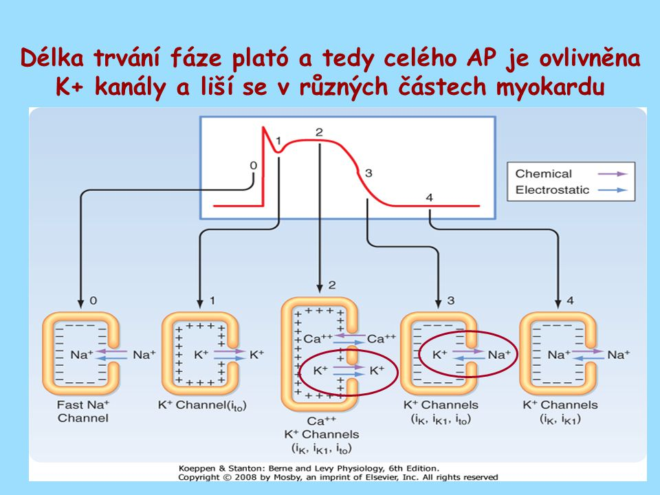 Pozitivně chronotropní efekt katecholaminů Fosforylace Ca kanálu Rychlejší kontrakce Phospholamban Rychlejší relaxace