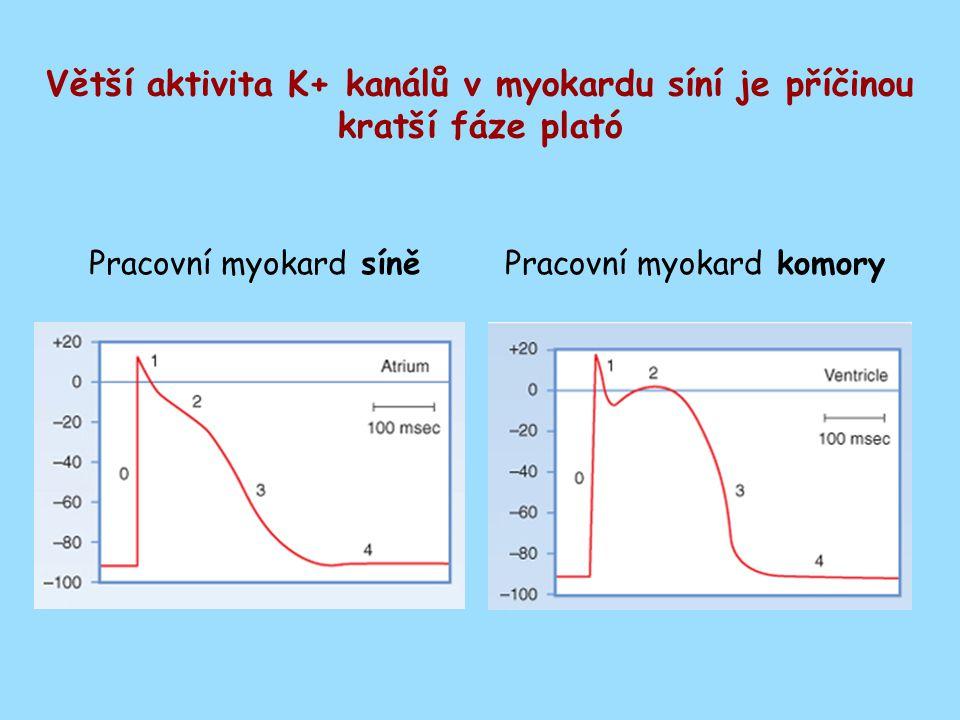 Větší aktivita K+ kanálů v myokardu síní je příčinou kratší fáze plató Pracovní myokard síněPracovní myokard komory