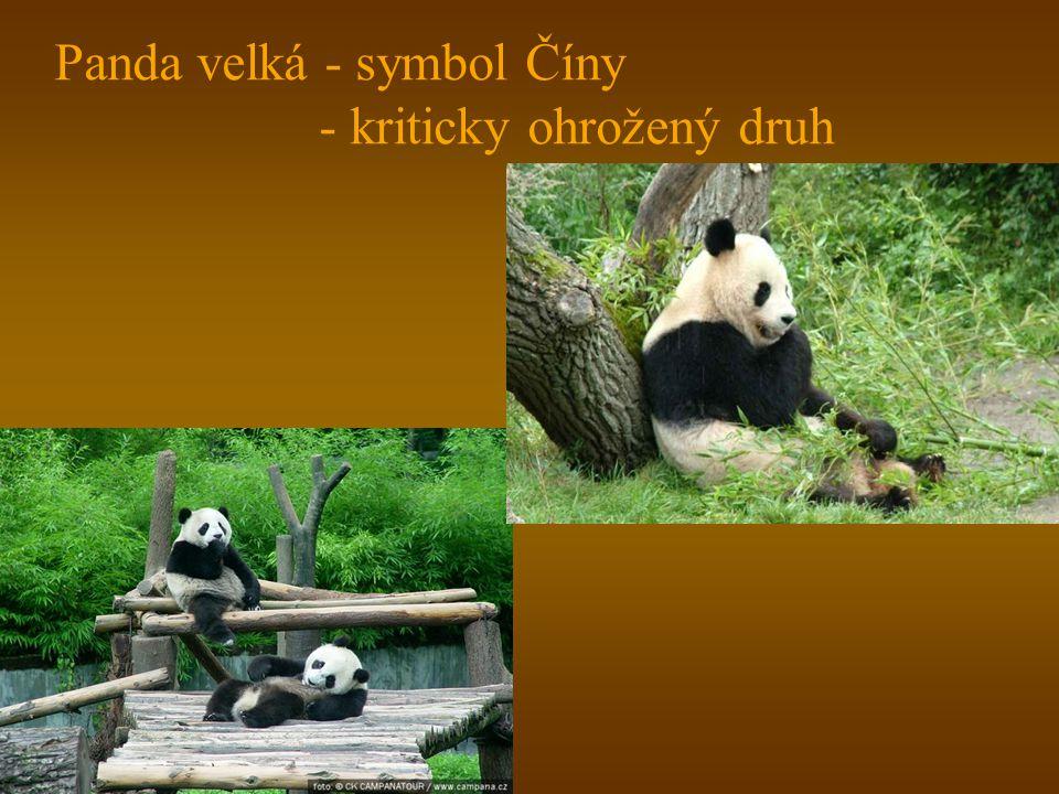 Panda velká - symbol Číny - kriticky ohrožený druh