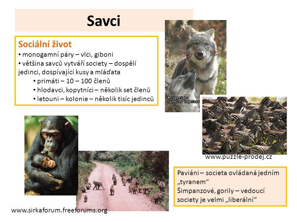 Savci Sociální život monogamní páry – vlci, giboni většina savců vytváří society – dospělí jedinci, dospívající kusy a mláďata primáti – 10 – 100 člen
