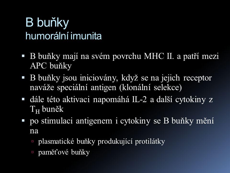 B buňky humorální imunita  B buňky mají na svém povrchu MHC II. a patří mezi APC buňky  B buňky jsou iniciovány, když se na jejich receptor naváže s