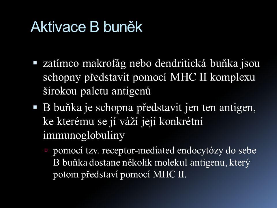 Aktivace B buněk  zatímco makrofág nebo dendritická buňka jsou schopny představit pomocí MHC II komplexu širokou paletu antigenů  B buňka je schopna
