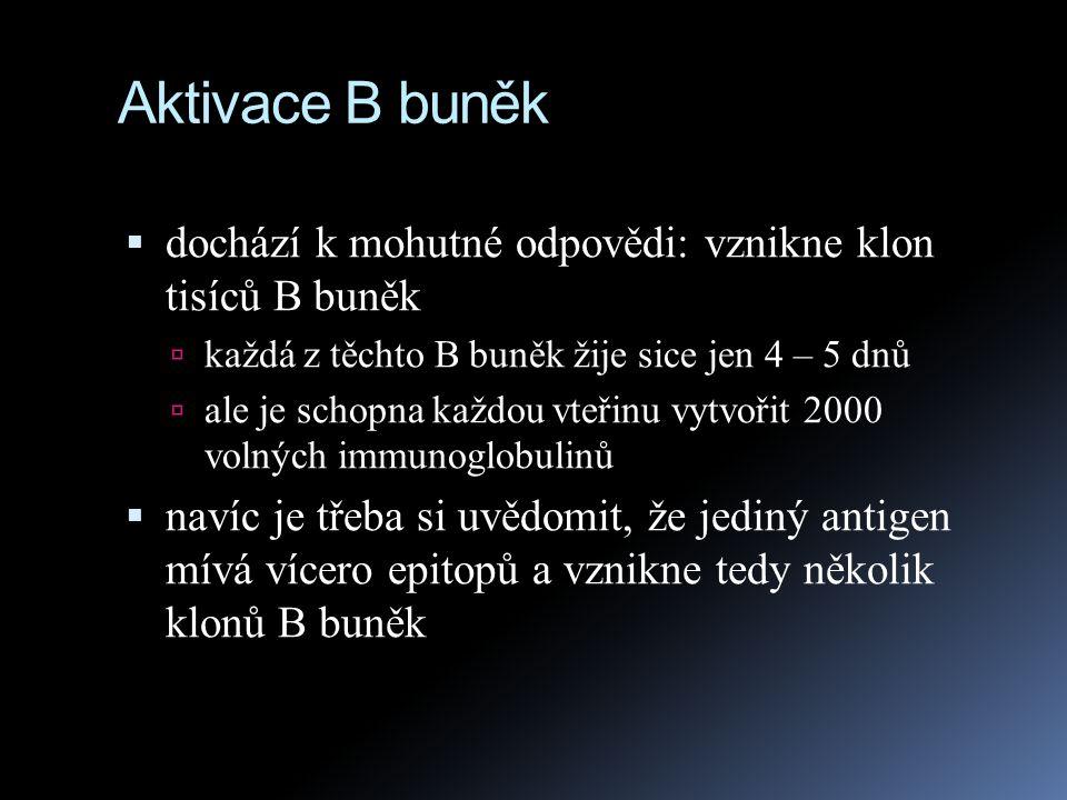 Aktivace B buněk  dochází k mohutné odpovědi: vznikne klon tisíců B buněk  každá z těchto B buněk žije sice jen 4 – 5 dnů  ale je schopna každou vt