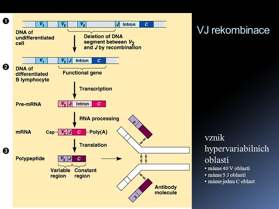 VJ rekombinace vznik hypervariabilních oblastí máme 40 V oblastí máme 5 J oblastí máme jednu C oblast