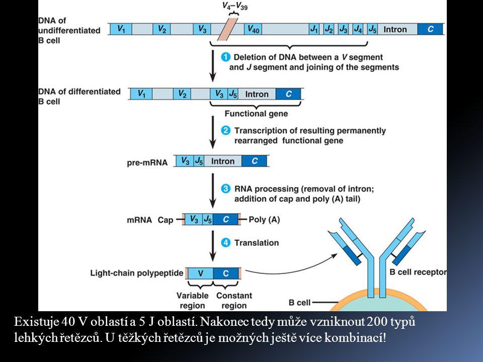 VJ rekombinace  při vzniku konkrétního imunoglobulinu se navíc kombinuje jeden lehký a jeden těžký řetězec  pro B buňky je odhadováno, že v lidském těle vytvoří asi 1,65 x 10 6 kombinací  je ještě nutno připočítat případné mutace