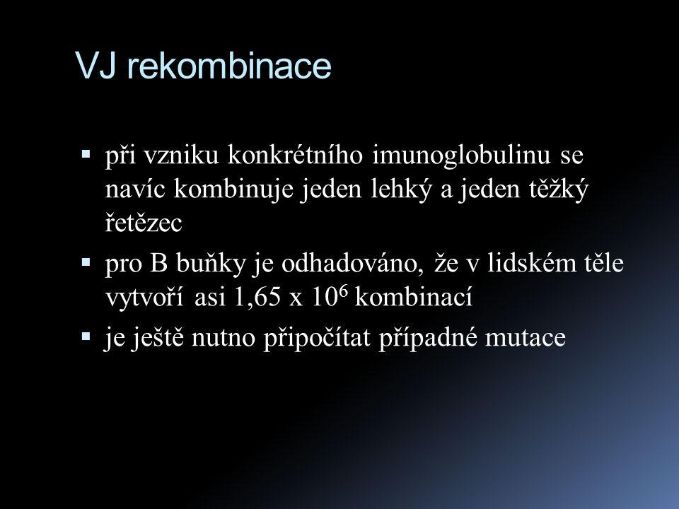 VJ rekombinace  při vzniku konkrétního imunoglobulinu se navíc kombinuje jeden lehký a jeden těžký řetězec  pro B buňky je odhadováno, že v lidském
