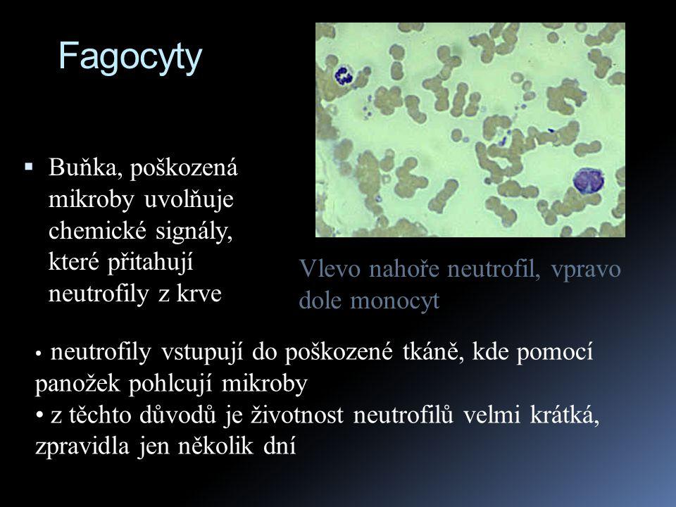 Fagocyty  Buňka, poškozená mikroby uvolňuje chemické signály, které přitahují neutrofily z krve neutrofily vstupují do poškozené tkáně, kde pomocí pa
