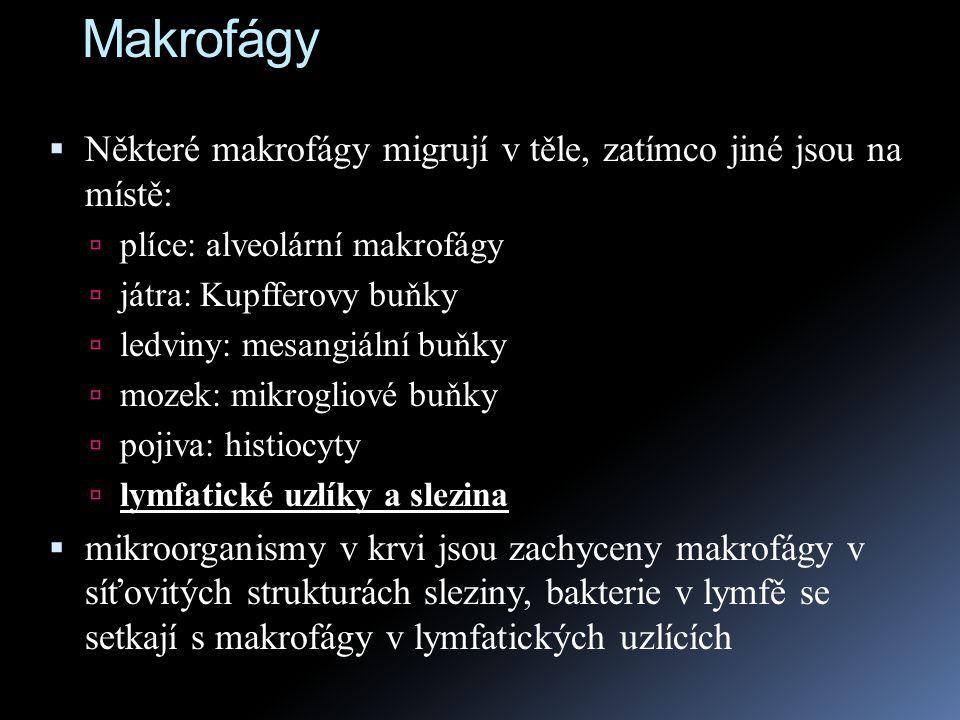 Makrofágy  Některé makrofágy migrují v těle, zatímco jiné jsou na místě:  plíce: alveolární makrofágy  játra: Kupfferovy buňky  ledviny: mesangiál