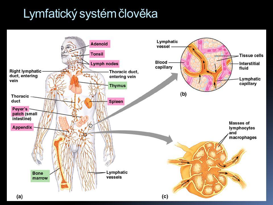 Lymfatické orgány  Buňky imunitního systému jsou zčásti volné (v krvi, míze, tkáních), zčásti soustředěné do lymfatických orgánů  Slezina (lien) - nepárový orgán, uložený vlevo od žaludku.