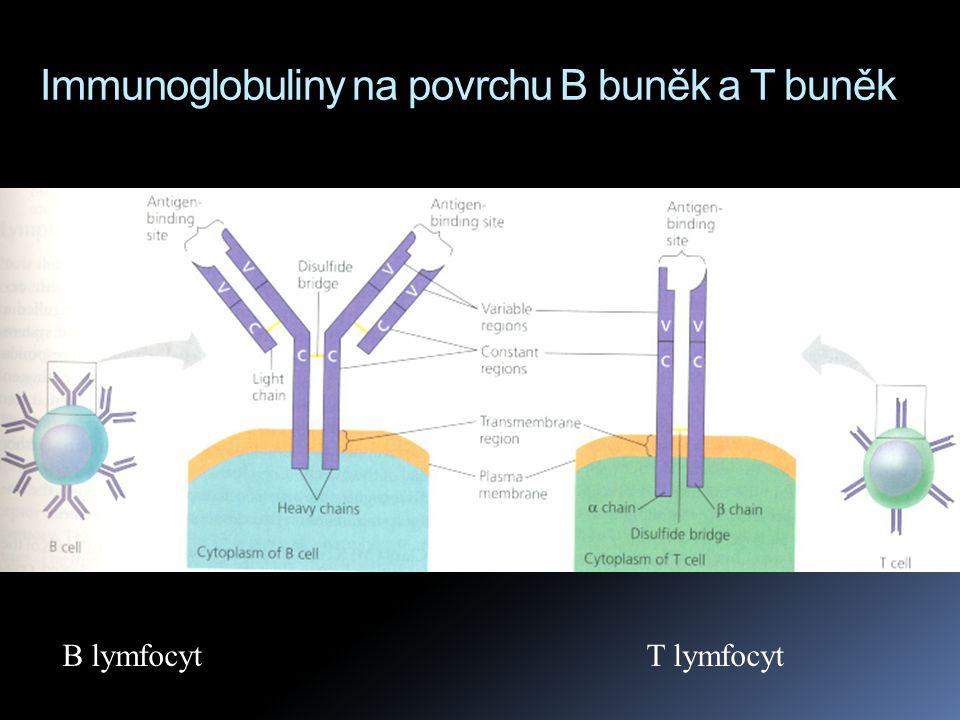 Immunoglobuliny na povrchu B buněk a T buněk B lymfocyt T lymfocyt