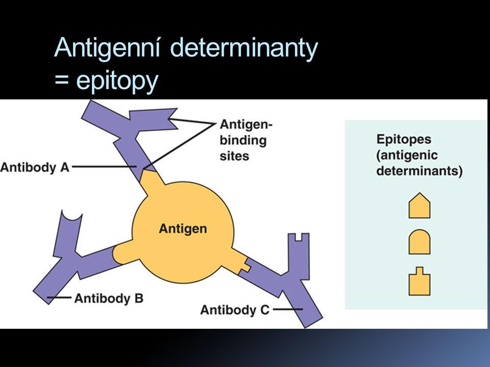 """B a T lymfocyty  imunoglubuliny u B lymfocytů se umí navázat na volný antigen na povrchu patogenního organismu  imunoglobuliny T lymfocytů se umí navázat pouze na antigen již """"představený pomocí MHC komplexu"""