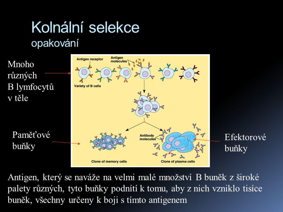 Primární imunitní odpověď  Selektivní proliferace a diferenciace (množení a rozrůznění na efektorové a paměťové) lymfocytů, které nastávají po první setkáním se s antigenem se nazývá primární imunitní odpověď  nejvíce efektorových buněk je vytvářeno 10 - 17 den po prvním kontaktu s antigenem  během této doby  B buňky vytváří efektorové B buňky zvané plasmatické buňky (plasma cells)  T buňky vytváří efektorové T buňky