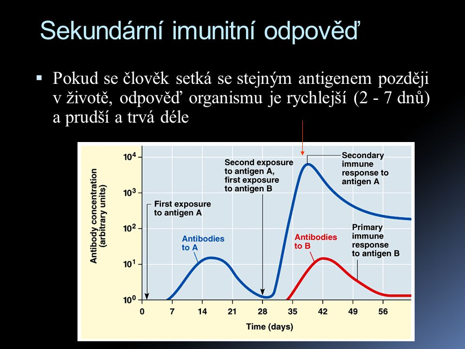 Sekundární imunitní odpověď  Pokud se člověk setká se stejným antigenem později v životě, odpověď organismu je rychlejší (2 - 7 dnů) a prudší a trvá