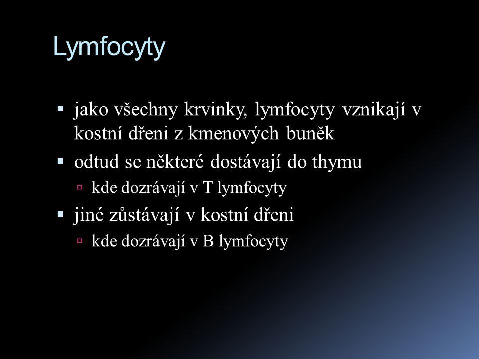 Lymfocyty vznikají v kostní dřeni z kmenových buněk  U dospělého člověka vznikají lymfocyty v kostní dřeni, u plodu v játrech  nejprve vypadají všechny stejně, záleží na tom, kde bude jejich vývoj pokračovat  lymfocyty, které migrují do brzlíku (thymus) se stanou T lymfocyty (Thymus)  lymfocyty, které zůstanou v kostní dřeni se stanou B lymfocyty