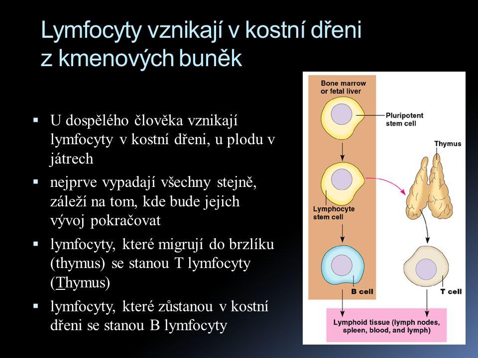Lymfocyty vznikají v kostní dřeni z kmenových buněk  U dospělého člověka vznikají lymfocyty v kostní dřeni, u plodu v játrech  nejprve vypadají všec