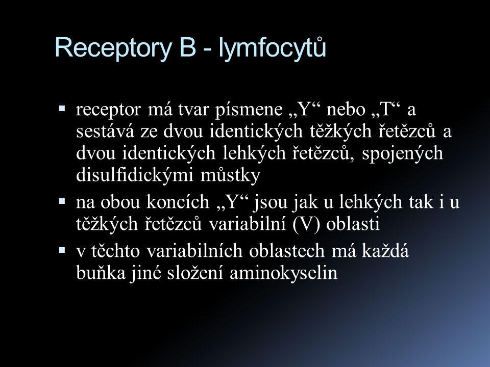 """Receptory B - lymfocytů  receptor má tvar písmene """"Y"""" nebo """"T"""" a sestává ze dvou identických těžkých řetězců a dvou identických lehkých řetězců, spoj"""