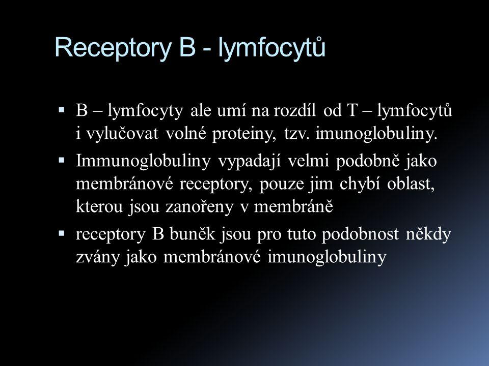 Receptory B - lymfocytů  B – lymfocyty ale umí na rozdíl od T – lymfocytů i vylučovat volné proteiny, tzv. imunoglobuliny.  Immunoglobuliny vypadají