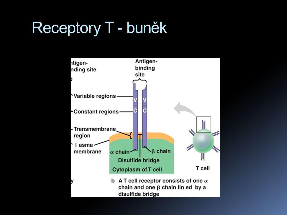  zatímco receptory na B buňkách jsou schopny poznat neporušený antigen, receptory T buněk umí rozpoznat malý kousek antigenu, který ale musí být navázán na membránovou bílkovinu normální buňky, tato bílkovina je zvaná MHC komplex  když se nově syntetizovaná MHC bílkovina dostává z cytoplasmy na povrch buňky, může se spojit s antigenem – pokud uvnitř buňky je.