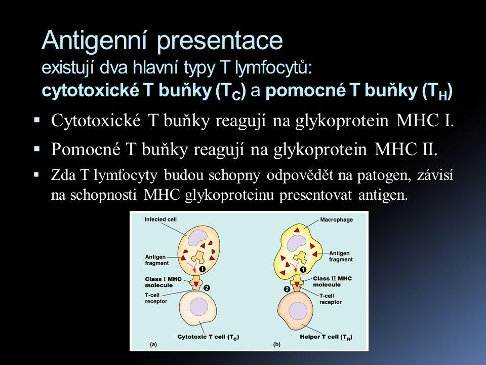 Antigenní presentace existují dva hlavní typy T lymfocytů: cytotoxické T buňky (T C ) a pomocné T buňky (T H )  Cytotoxické T buňky reagují na glykop