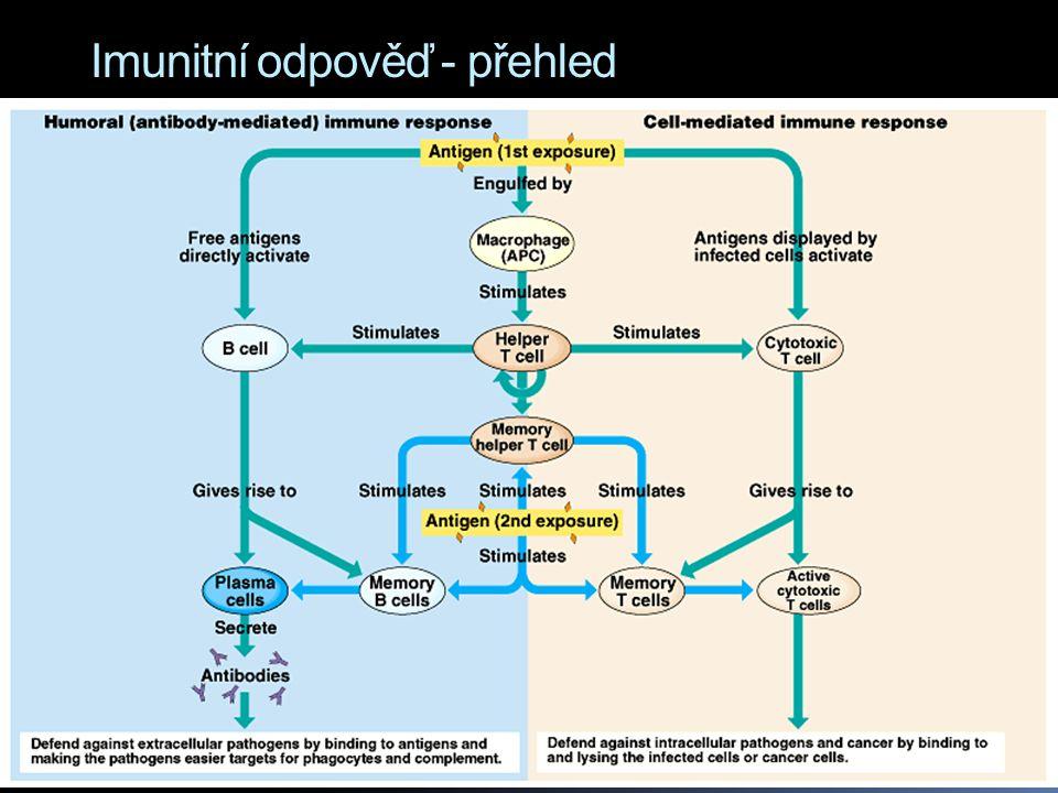 """Humorální imunita  = aktivace B lymfocytů, které začnou produkovat do krve a lymfy ve velkém množství specifické protilátky (tyto tělní tekutiny byly kdysi zvány """"humor )  protilátky = immunoglobuliny."""