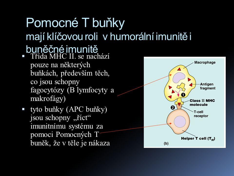 Pomocné T buňky (T H buňky)  Interakce mezi T H buňkami a APC buňkami je posílena proteinem CD4, který se nachází na povrchu T H buněk  CD4 se váže na MHC II.