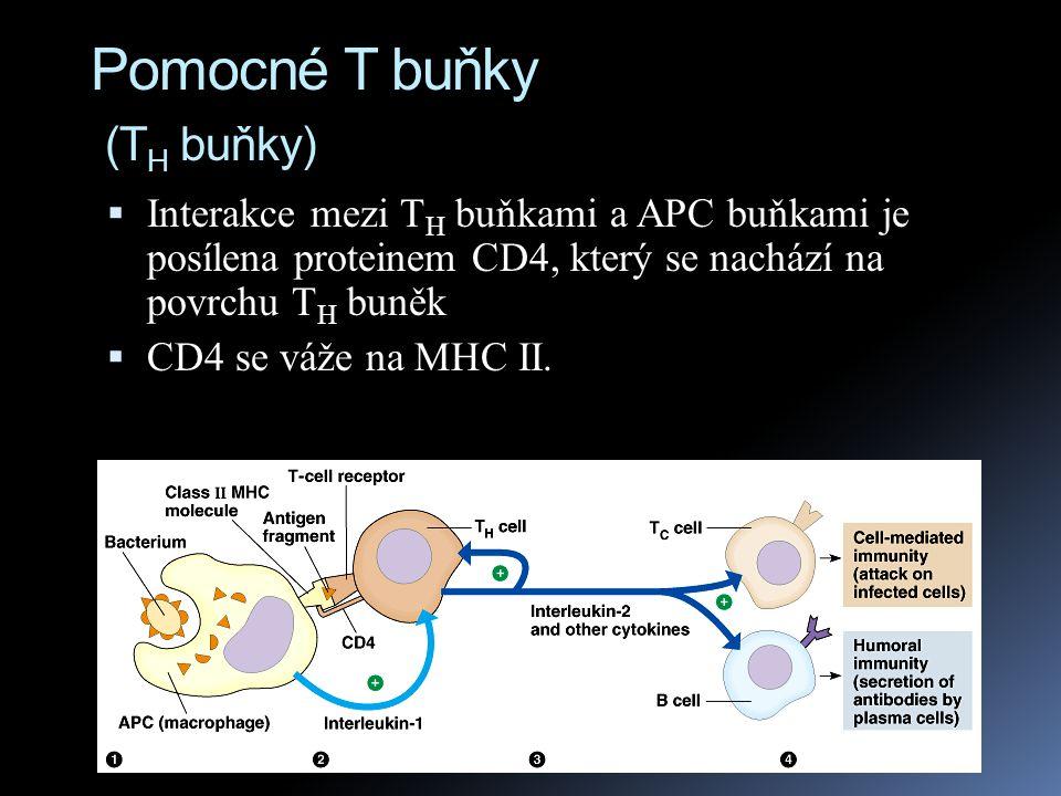 Pomocné T buňky (T H buňky)  Interakce mezi T H buňkami a APC buňkami je posílena proteinem CD4, který se nachází na povrchu T H buněk  CD4 se váže