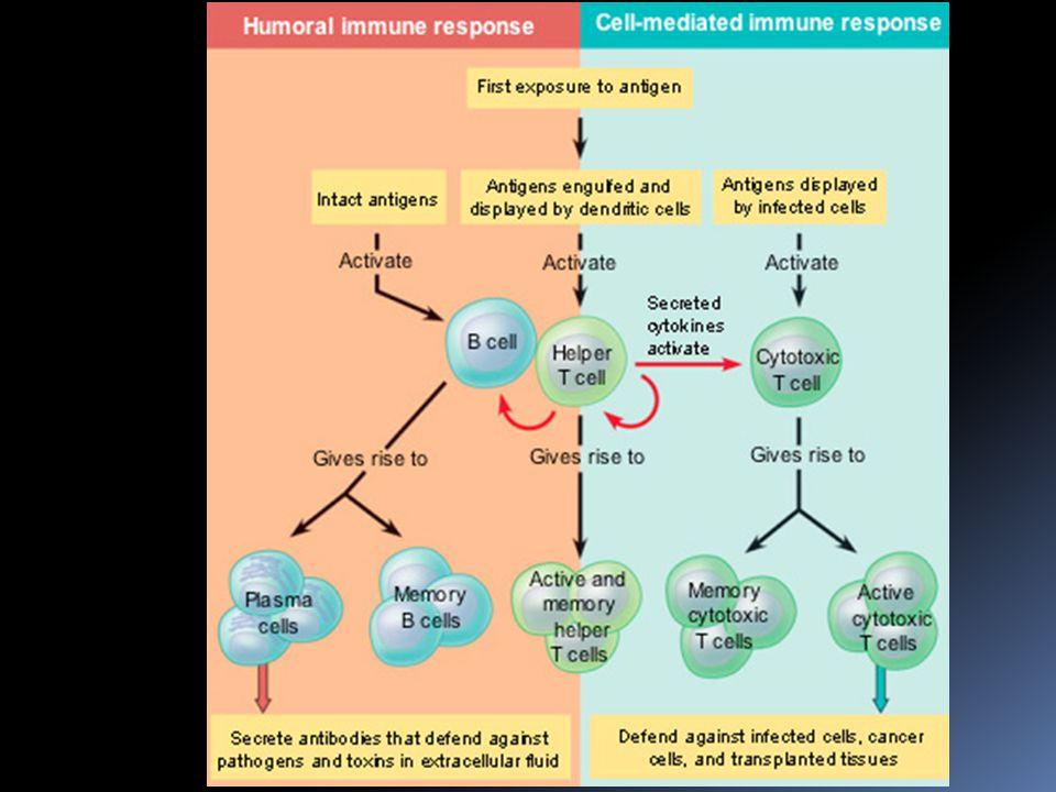 Dendritické buňky  jsou zvláště důležité pro aktivaci Pomocných T- buněk  dendritická buňka krom představení antigenu vylučuje cytokiny, které pomáhají aktivovat Pomocnou T-buňku  dendritická buňka obsahuje na povrchu MHC II.