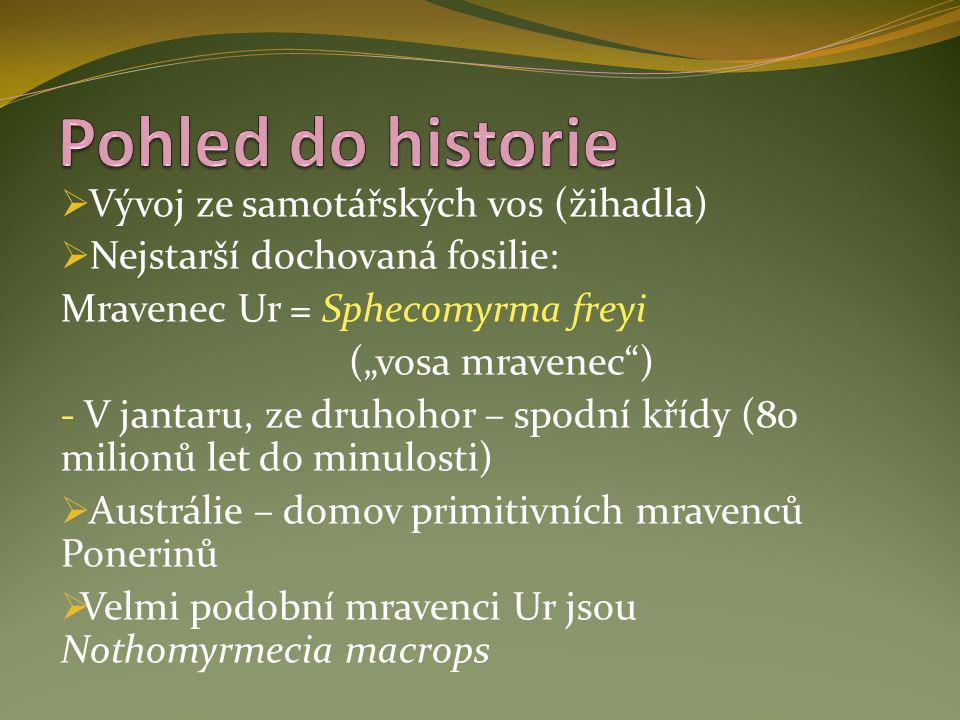 """ Vývoj ze samotářských vos (žihadla)  Nejstarší dochovaná fosilie: Mravenec Ur = Sphecomyrma freyi (""""vosa mravenec"""") - V jantaru, ze druhohor – spod"""