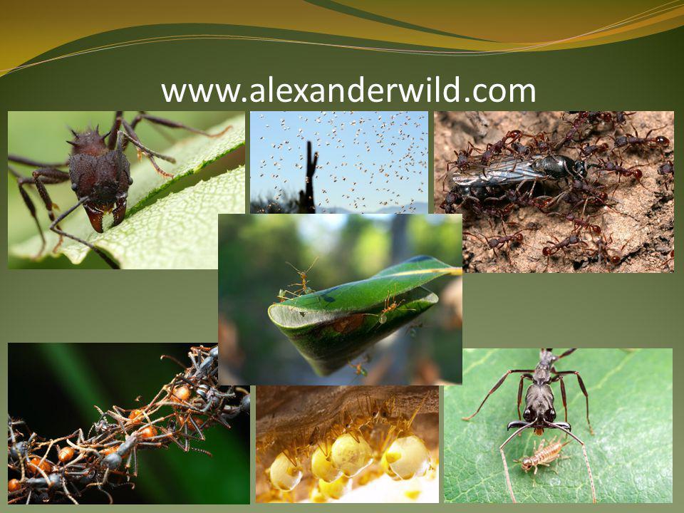  Camponotus saundersi  Kdykoli je třeba, stanou se bombamy  Skrz tělo prochází dvě velké žlázy s toxickými sekrety  Při nebezpečí stáhnou zadečkové svalstvo a roztříští jejich tělo na padrť