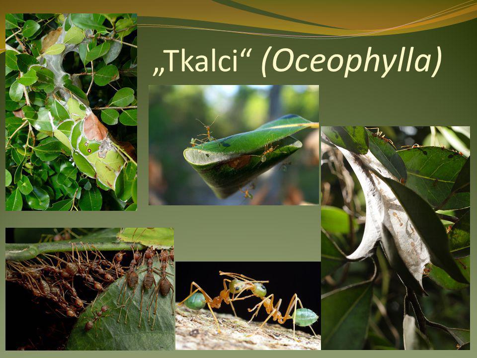 """""""Tkalci"""" (Oceophylla)"""