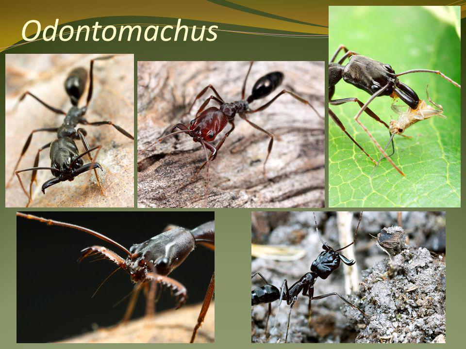 Odontomachus