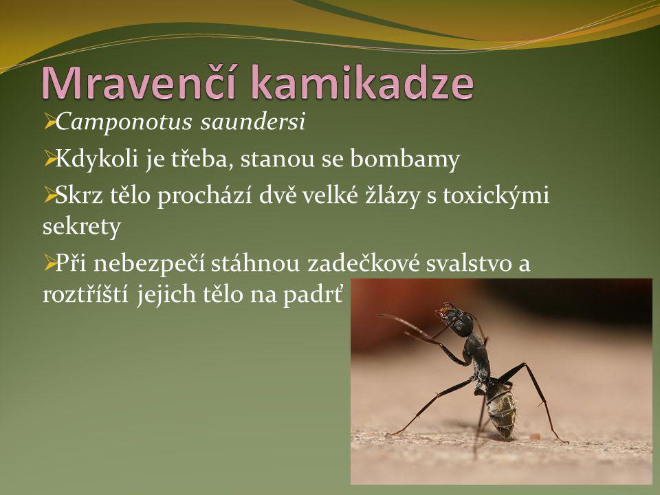  Camponotus saundersi  Kdykoli je třeba, stanou se bombamy  Skrz tělo prochází dvě velké žlázy s toxickými sekrety  Při nebezpečí stáhnou zadečkov