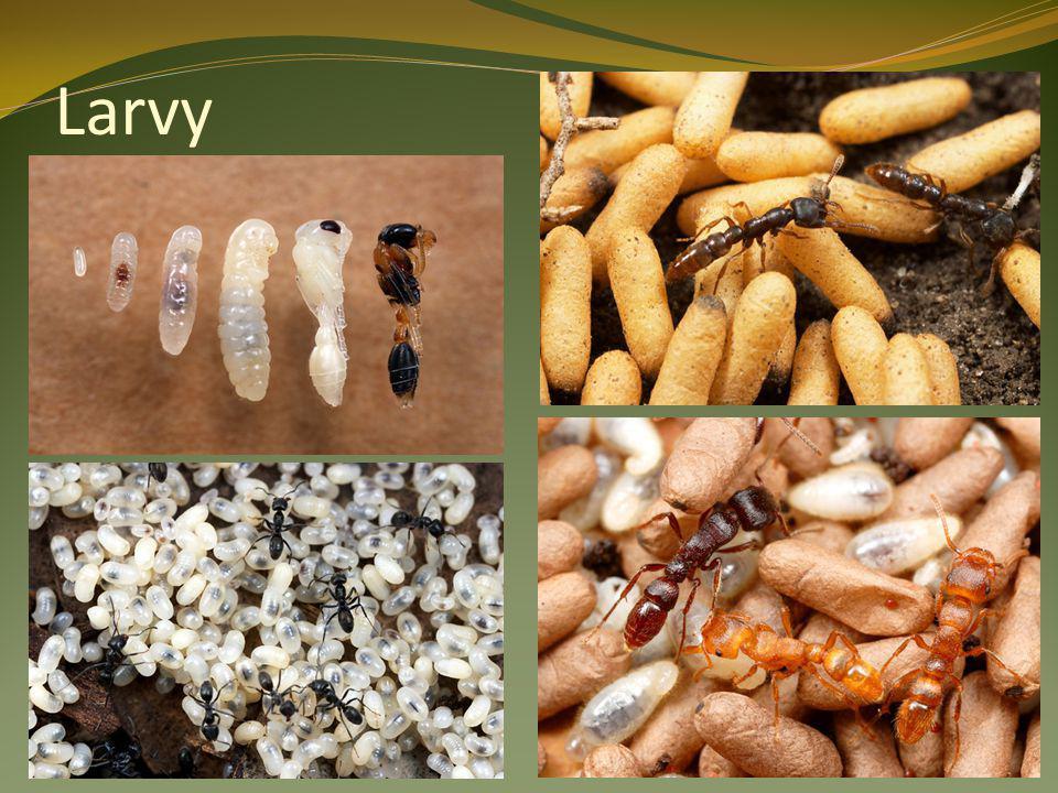 """ Ohrožení, CHRÁNĚNÍ  Důležití pro regulaci škůdců v lese  Potrava: hmyz, medovice, míza ze stromů, housenky motýlů  Typická """"kupovitá mraveniště vzájemně propojená  Jak jedna, tak více královen  Při nevhodném umístění hnízda se mají volat odborníci, kteří je přemístí na vhodnější lokalitu"""